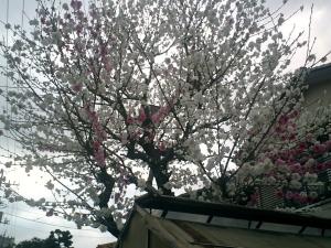 1本で白と桃色と咲いてるんですけど