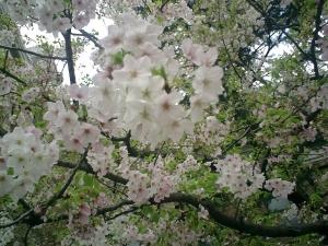 これは四谷の桜ぢゃない